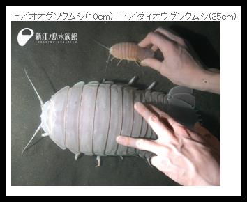 ダイオウグソクムシは世界一のダンゴムシ【画像・動画有り】
