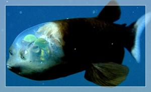 「デメギニス」頭が透明の深海魚。目はいったいどこにある?【画像・動画有り】