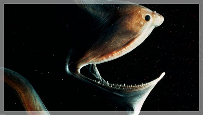 「フクロウナギ」大きな口なのに体はスリムな深海魚【画像・動画有り】