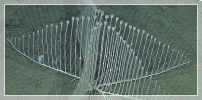 「コンドロクラディア・リラ」深海の不思議な海綿生物。まるでハープ?【画像・動画有り】