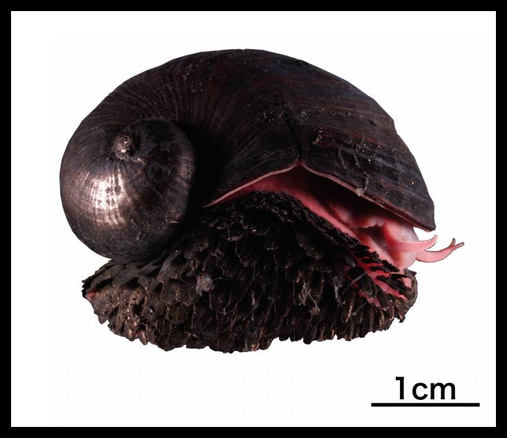 スケーリーフット(ウロコフネタマガイ)鉄の鱗を持つ深海のアイドル【画像・動画有り】