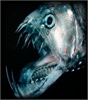 深海魚ホウライエソ 恐ろしい顔の不思議生物【画像・動画有り】