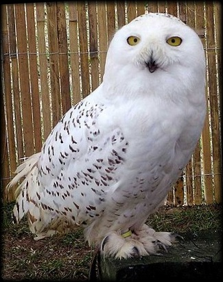 不思議なかわいい白いフクロウ「シロフクロウ」【画像・動画あり】