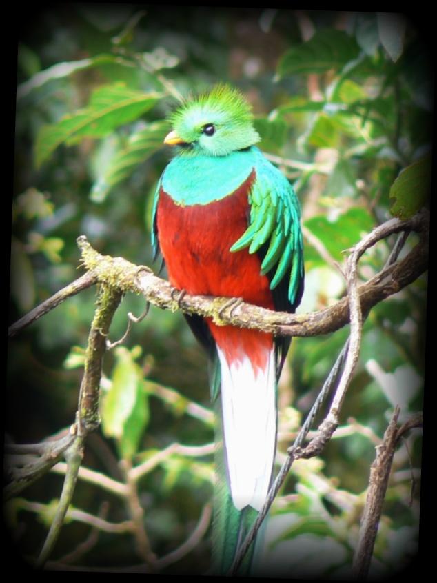 ケツァール 世界一美しい鳥【画像・動画あり】