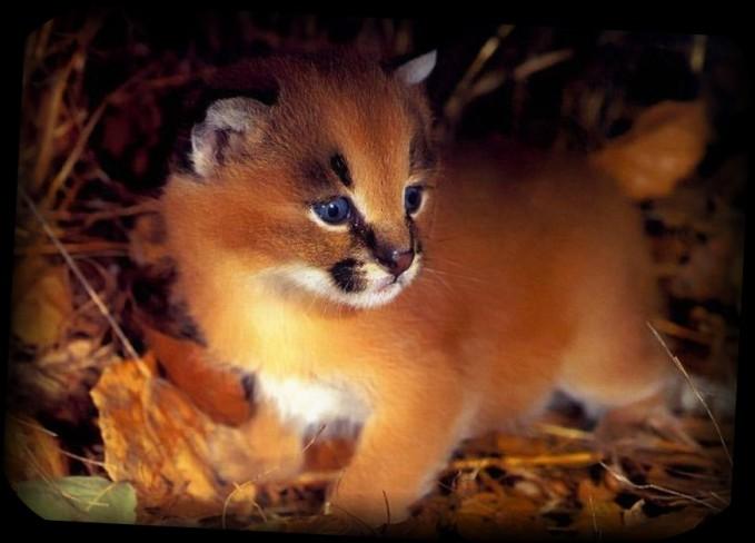ペットにしたい?かわいいキャット(猫)カラカル【画像・動画あり】