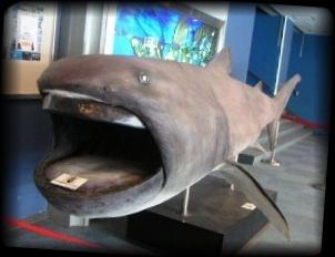 深海魚メガマウス 大きな口をもつサメの仲間【画像・動画あり】