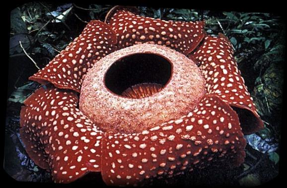世界最大の花ラフレシア なぜ臭い?その理由とは【画像・動画あり】