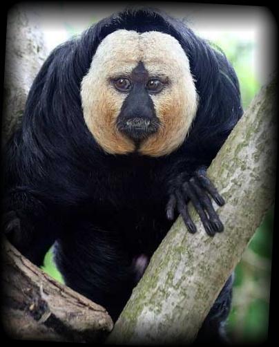顔の白い不思議な猿 シロガオサキ【画像・動画あり】