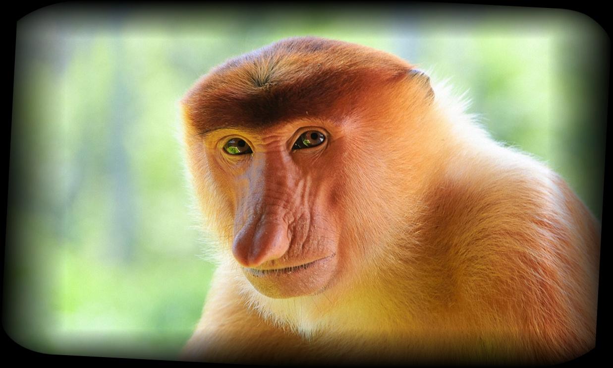 不思議な生態 鼻が長いテングザル【画像・動画あり】