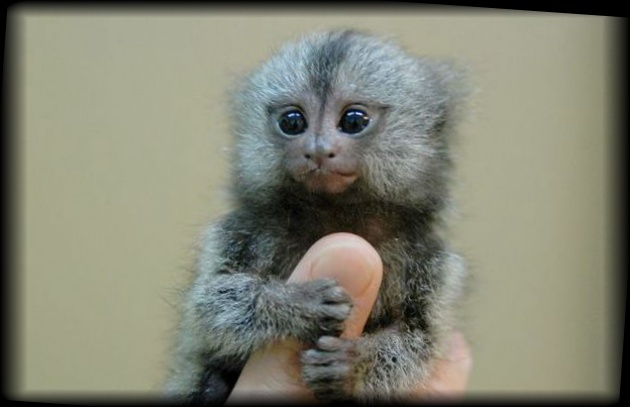 ペットにしたい小さな猿の不思議生物 ピグミーマーモセット【画像・動画あり】