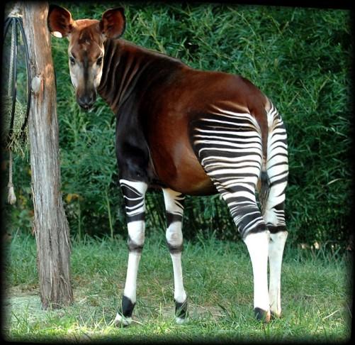 動物園で見たい珍獣オカピ【画像・動画あり】
