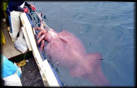 世界最大の深海のイカ 目玉も大きいダイオウホウズキイカ【動画・画像あり】