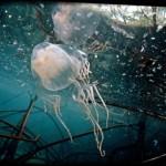 最強の毒を持つオーストラリアウンバチクラゲ(キロネックス)【動画・画像あり】