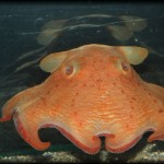 水族館でも見れるかわいいタコ メンダコ【画像・動画あり】