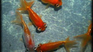 頂点眼 天を仰ぐ不思議な金魚【画像・動画あり】
