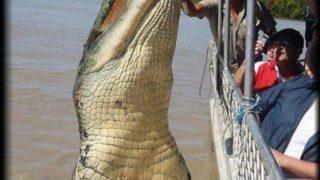 イリエワニ 恐竜のような巨大ワニ【画像・動画あり】