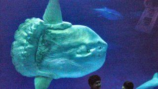 ゆったりして愛嬌のある魚 マンボウ【画像・動画あり】